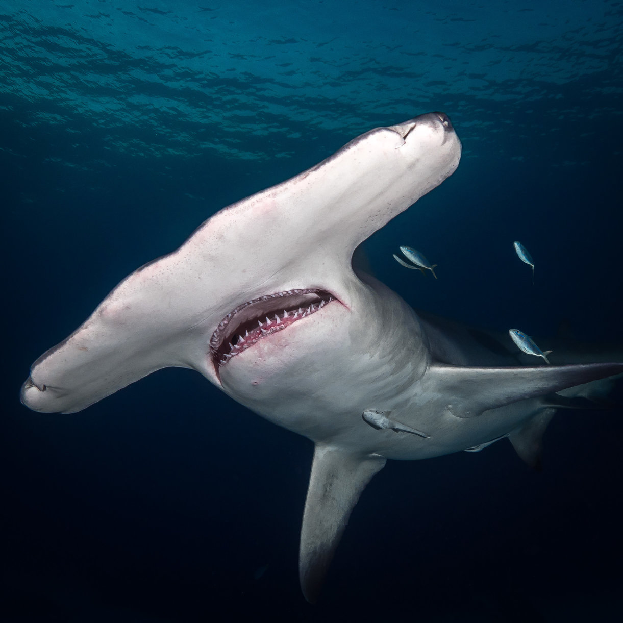 Understanding Great Hammerhead Migration